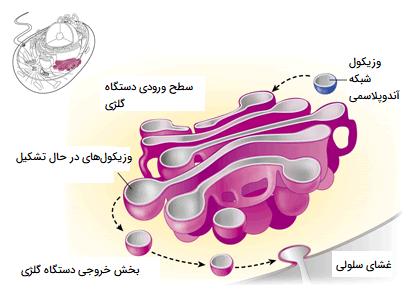 عملکرد دستگاه گلژی