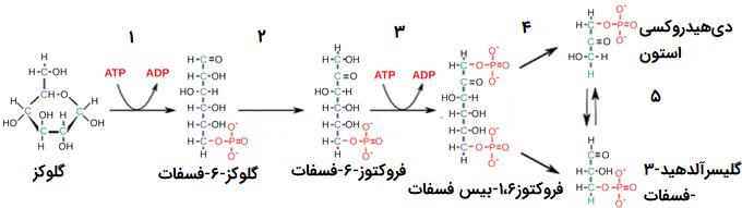 واکنش های انرژی خواه گلیکولیز