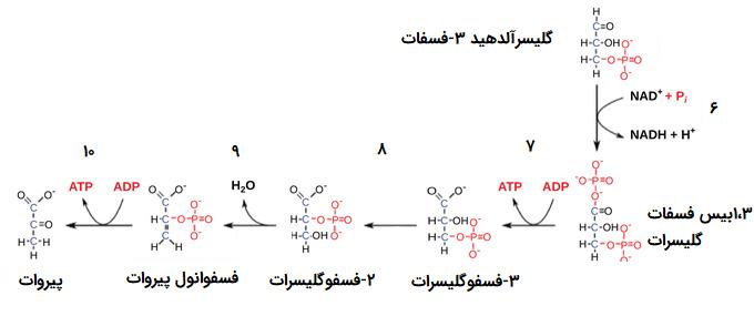 واکنش های انرژی زا گلیکولیز