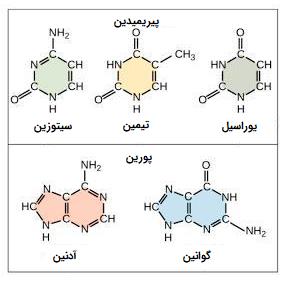 باز های اسیدهای نوکلئیک