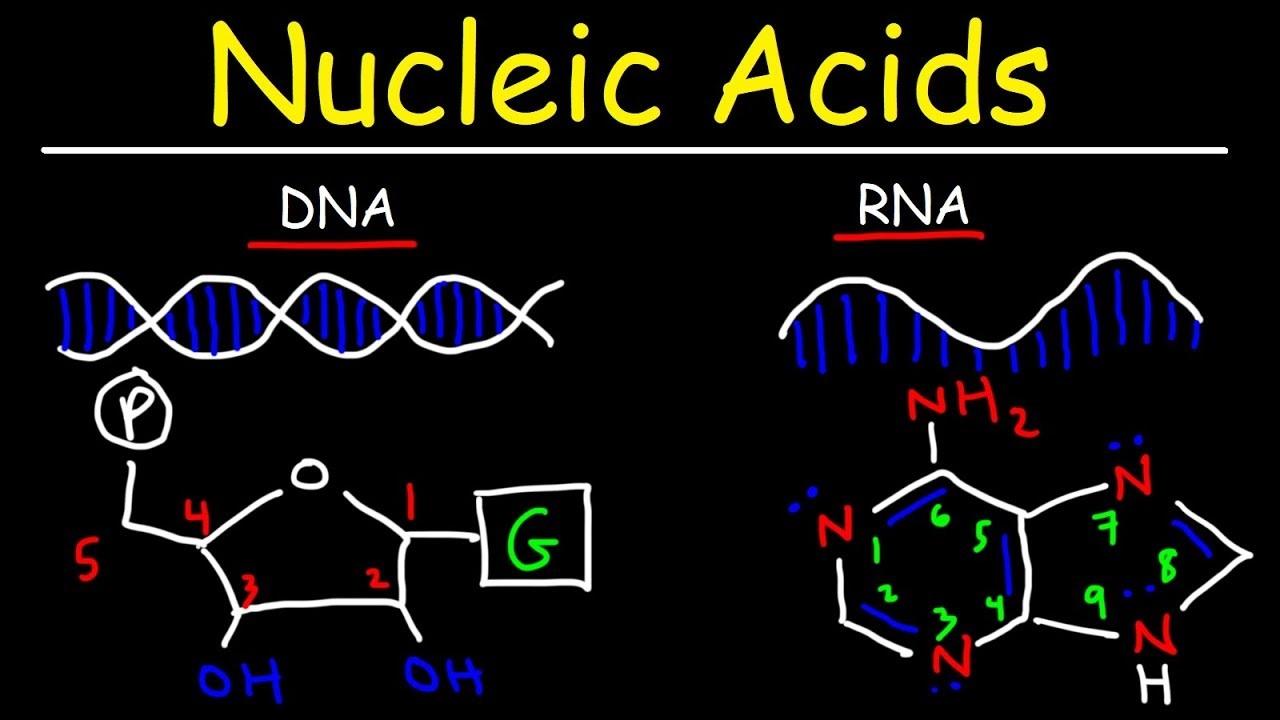 اسید نوکلئیک ، انواع و ساختار | به زبان ساده
