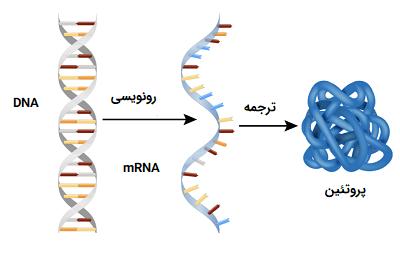 روند سنتز پروتئین