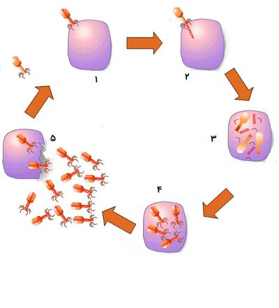 ورود ویروس به سلول