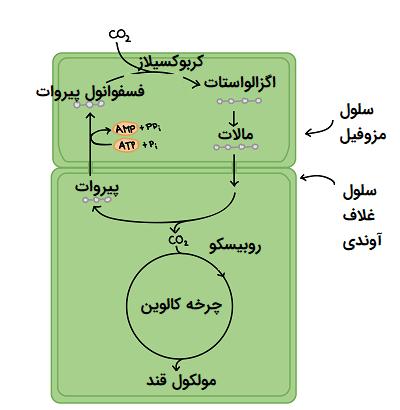 فتوسنتز در گیاهان C4