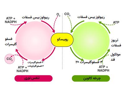 مقایسه فتوسنتز و تنفس نوری