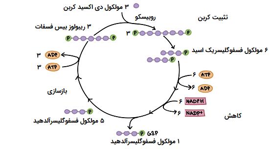 مراحل چرخه کالوین