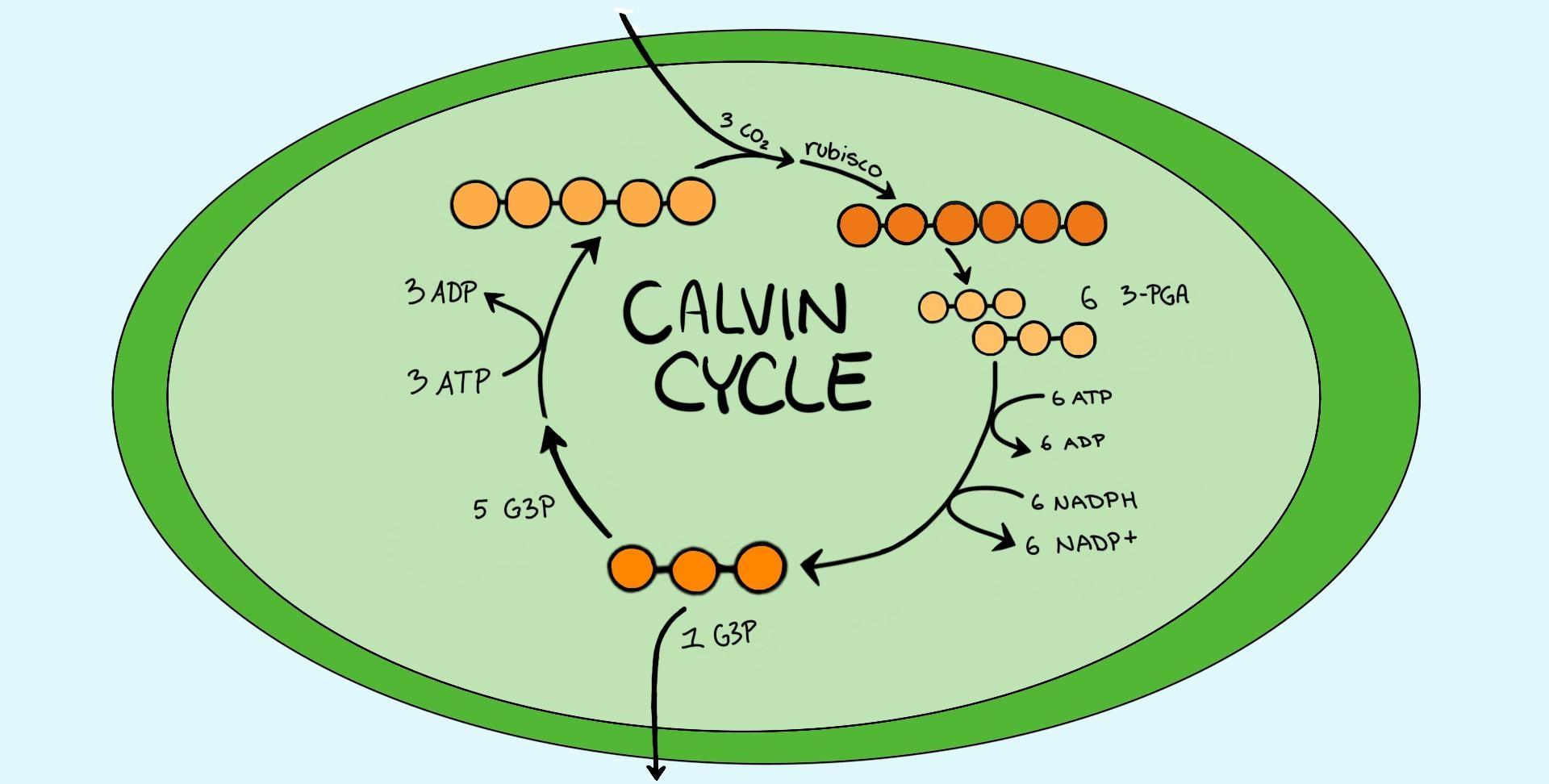 چرخه کالوین ، مراحل و محصولات | به زبان ساده