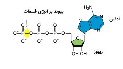 ساختار شیمیایی مولکول ATP