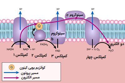 زنجیره انتقال الکترون