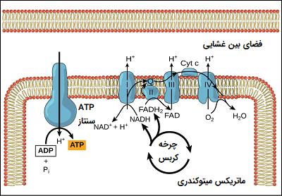 فسفوریلاسیون اکسیداتیو
