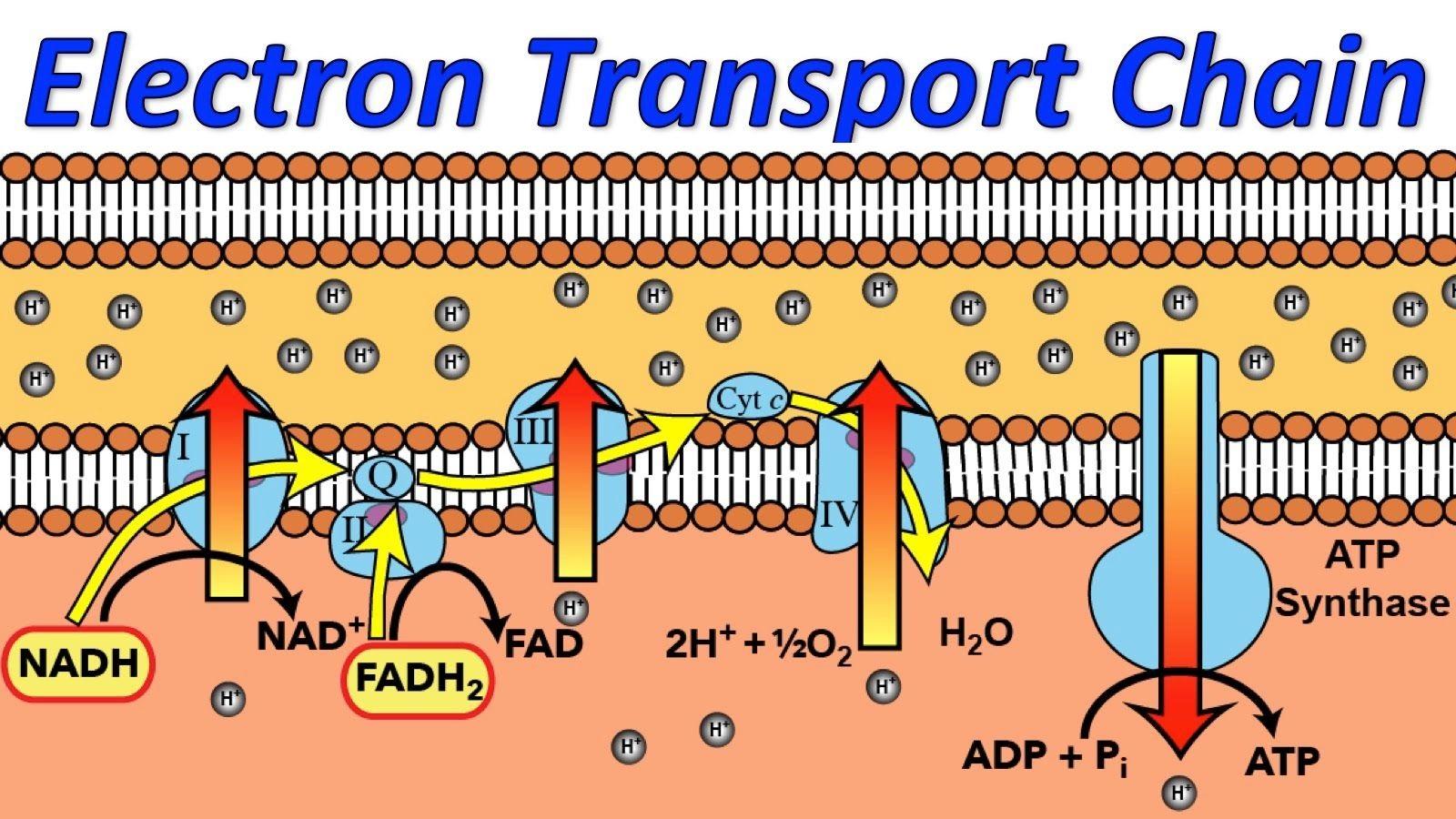 زنجیره انتقال الکترون چیست؟ | زبان ساده