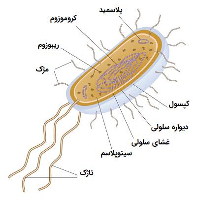 باکتری ایکلای