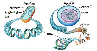 کروموزوم یوکاریوت و پروکاریوت
