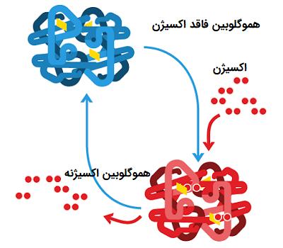 هموگلوبین دارای اکسیژن