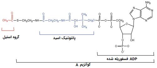 ساختار استیل کوآنزیم آ