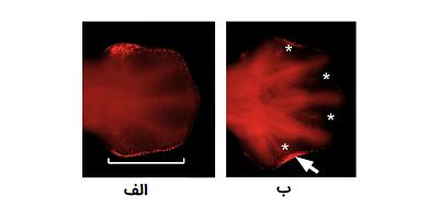 آپوپتوز بافت سلولی بین انگشتان