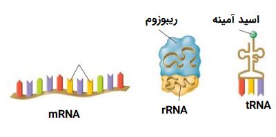 انواع RNA