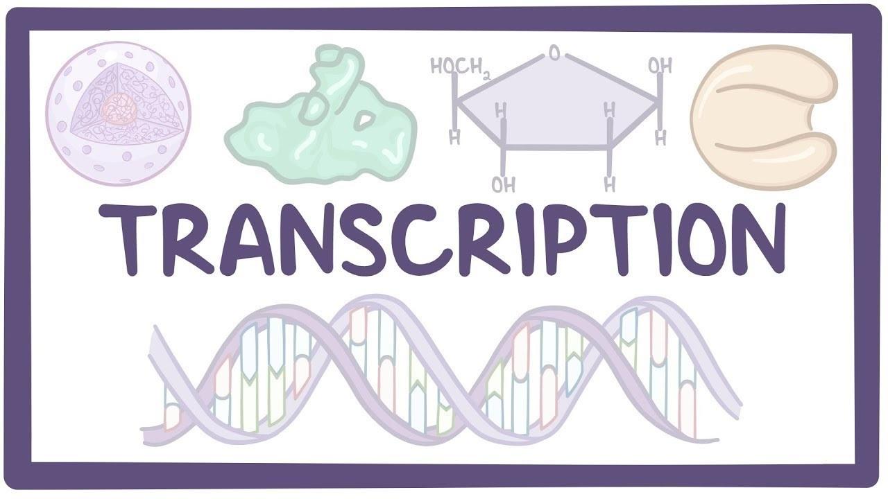رونویسی و سنتز RNA — به زبان ساده