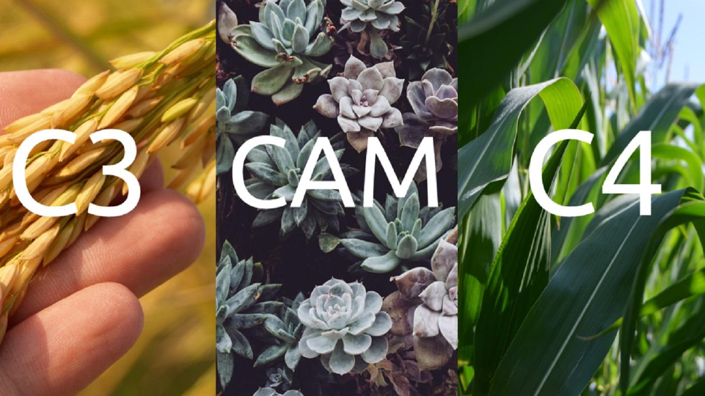 انواع فتوسنتز در گیاهان | به زبان ساده