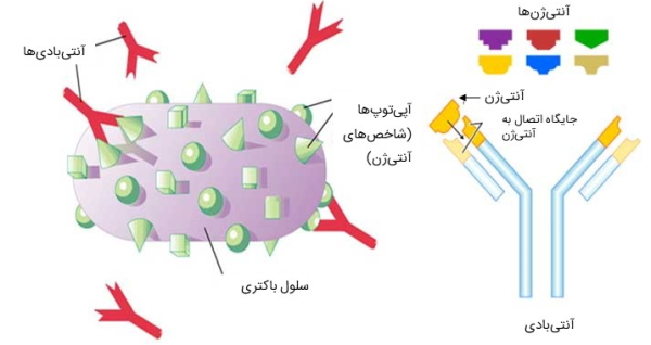 آنتی ژن و آنتیبادی