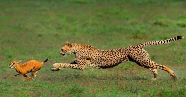 یوز در حال شکار کردن