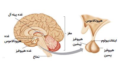 غده های درون ریز مغز
