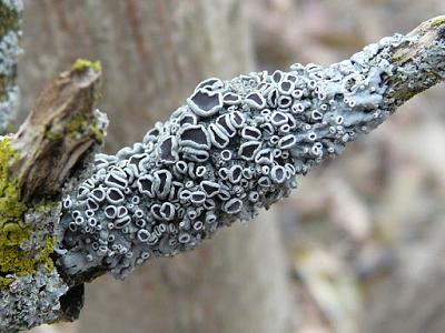 قارچ های آسکومیست