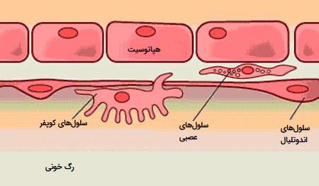 سلول های کبدی
