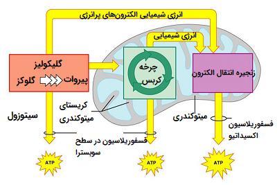 کاتابولیسم کربوهیدراتها