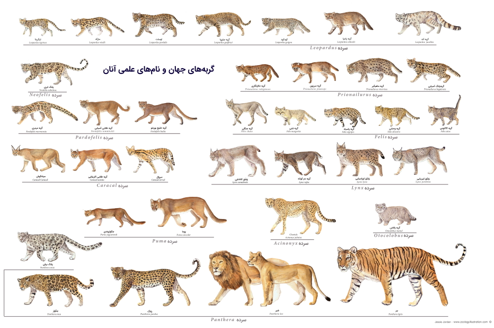 گربه سانان بزرگ — هر آنچه باید بدانید