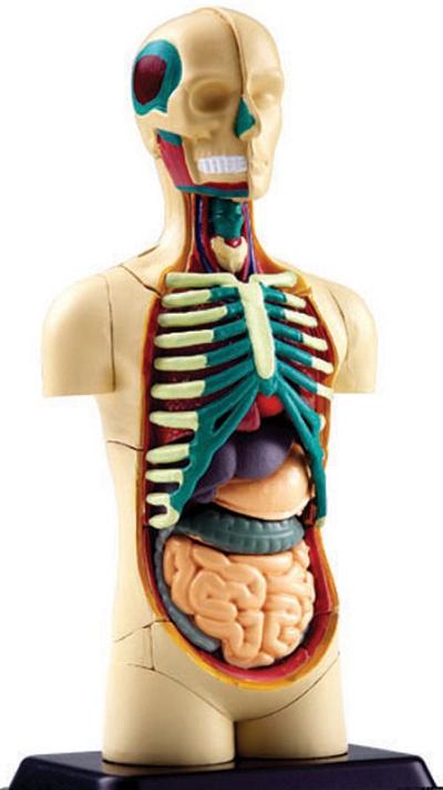 مدل آناتومی بدن انسان