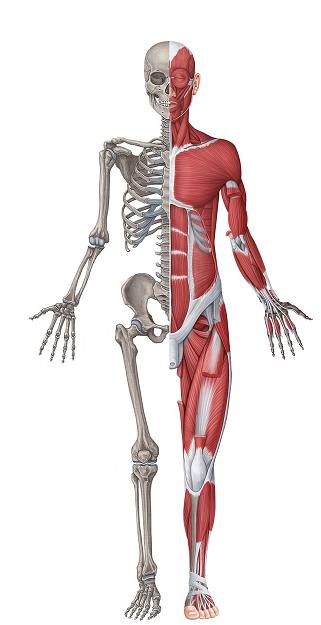سیستم اسکلتی عضلانی