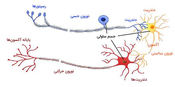 انواع نورون