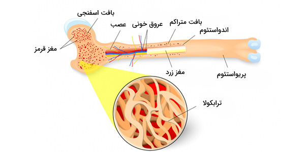 ساختار مغز استخوان