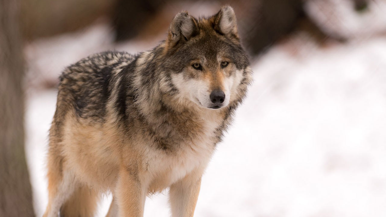 سگ سانان — تکامل و رفتارشناسی