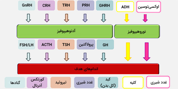 عملکردهای هیپوتالاموس