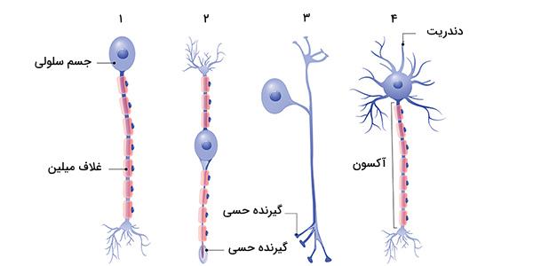 انواع نورون ها