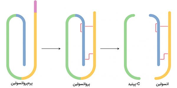 پیش سازهای انسولین