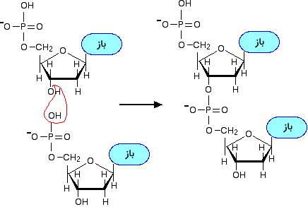 پلیمریزاسیون نوکلئوتید