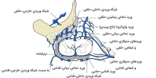 شبکه وریدی نخاع
