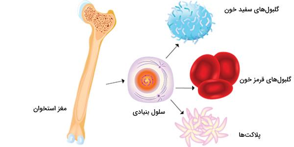 سلول بنیادی مغز استخوان