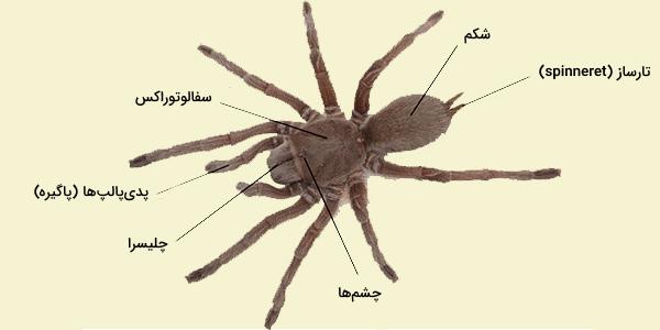 عنکبوتیان