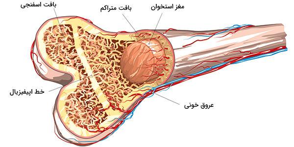 ساختار استخوان