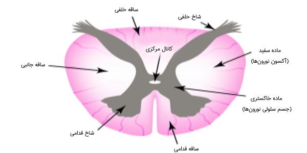 ساختار نخاع