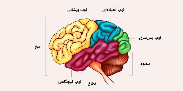 لوب های مغزی