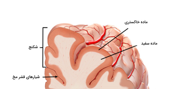 قشر مخ