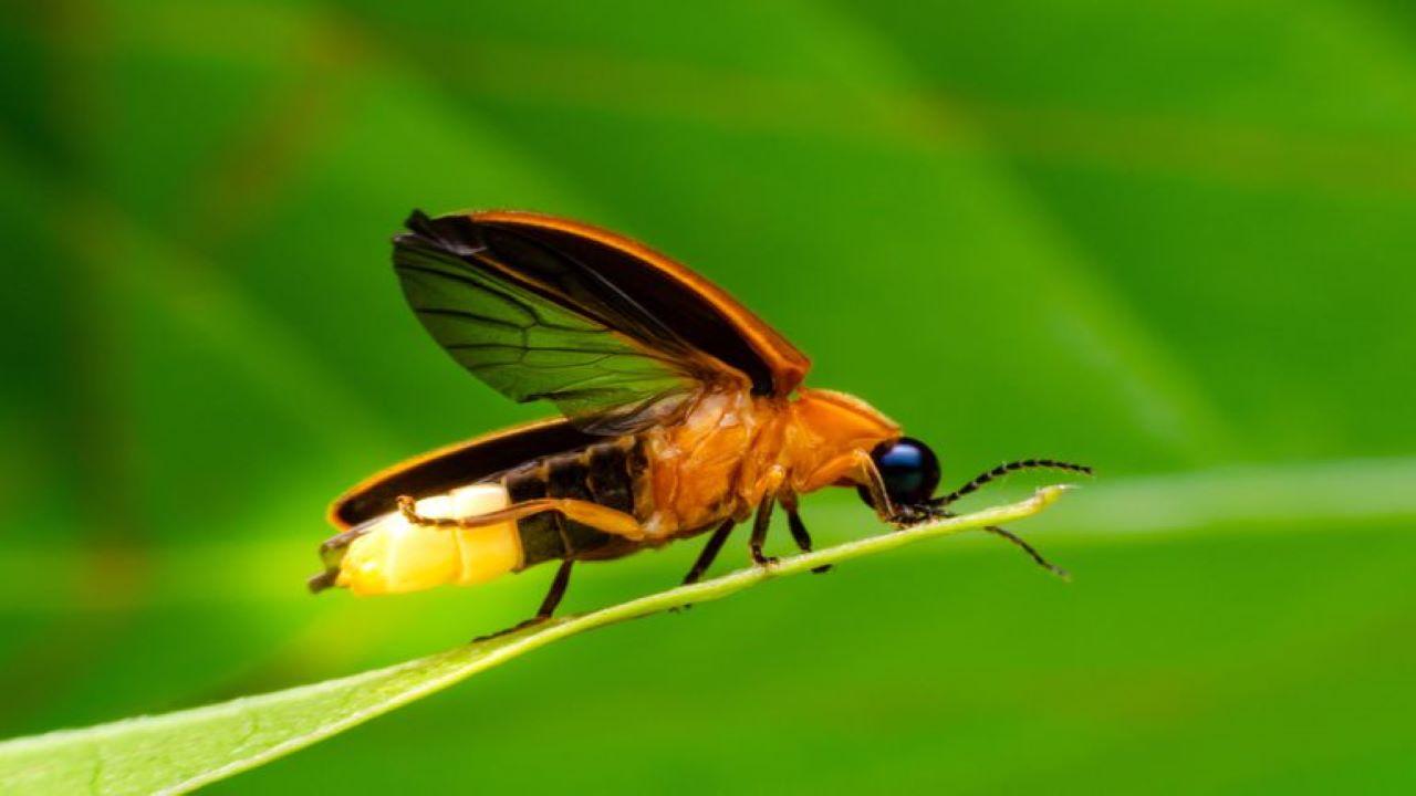 حشرات شب تاب — ویدیوی علمی