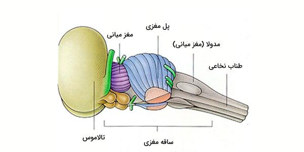 ساقه مغز