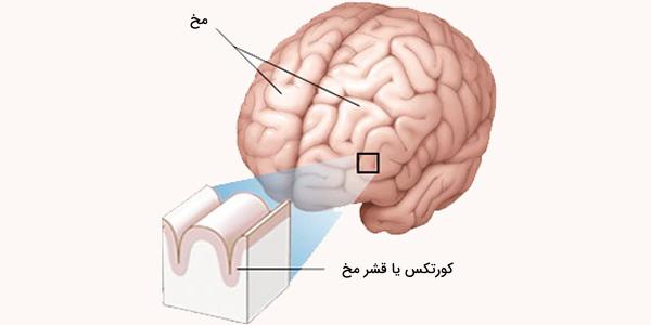 مخ چیست