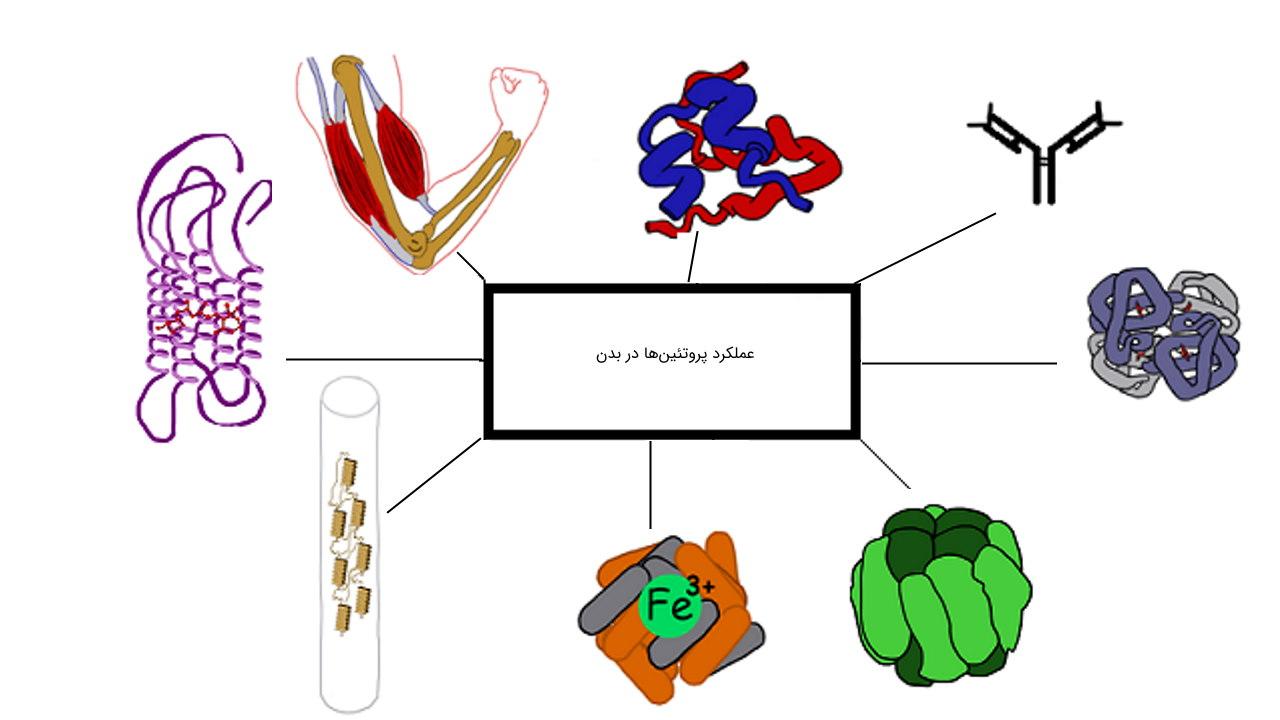 عملکرد پروتئین ها — به زبان ساده